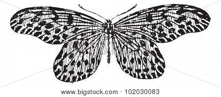 Old engraved illustration of Tree-nymph or Idea lynceus or Papilio lynceus or Hestia reinwardti isolated on a white background. Dictionary of words and things - Larive and Fleury, 1895