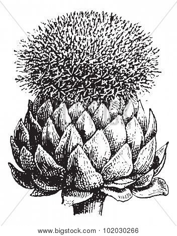 Artichoke or Globe Artichoke, vintage engraved illustration. Dictionary of words and things - Larive and Fleury - 1895.