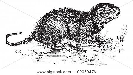 Water Rat, vintage engraved illustration. Dictionary of words and things - Larive and Fleury - 1895.