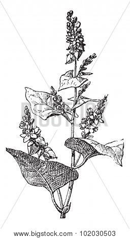 Knotweed or Polygonum or knotgrass or bistort or tear-thumb or mile-a-minute or ars-smerte, vintage engraved illustration. Dictionary of words and things - Larive and Fleury - 1895.