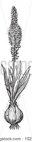 Squill or Drimia maritima or Sea squill or Red squill or Sea onion or Ein sit or Ada sogani, vintage engraved illustration. Dictionary of words and things - Larive and Fleury - 1895.