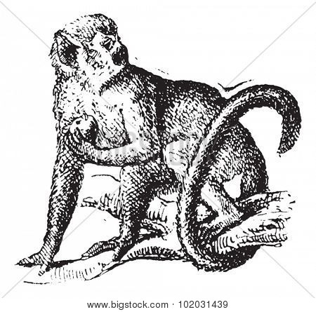 Squirrel monkey or Saimiri, vintage engraved illustration. Dictionary of words and things - Larive and Fleury - 1895.