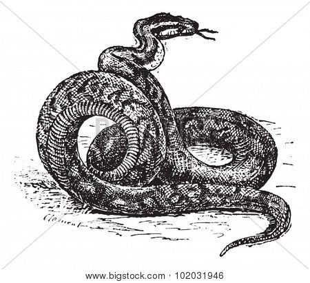Old engraved illustration of Python. Dictionary of words and things - Larive and Fleury - 1895
