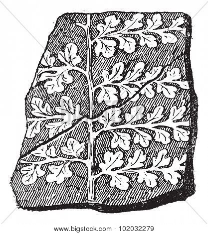 Sphenopteris, a seed fern, vintage engraved illustration. Dictionary of words and things - Larive and Fleury - 1895.