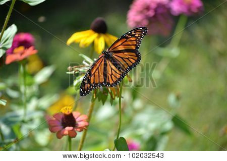 Monarch among the wild flowere