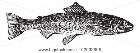 Old engraved illustration of Salmon isolated on a white background. Dictionary of words and things - Larive and Fleury ? 1895
