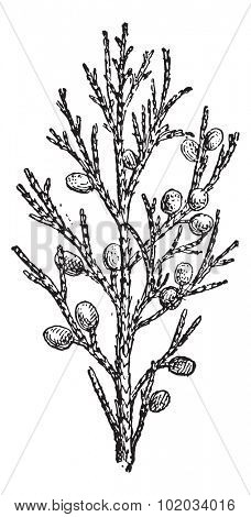 Juniper, vintage engraved illustration. Dictionary of words and things - Larive and Fleury - 1895.