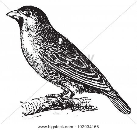 Sociable Weaver or Social Weaver (Philetairus socius) perching on branch, vintage engraved illustration. Dictionary of words and things - Larive and Fleury - 1895.