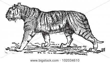 Tiger (Panthera tigris), vintage engraved illustration. Dictionary of words and things - Larive and Fleury - 1895.