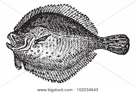 Turbot or Scophthalmus maximus, vintage engraved illustration. Dictionary of Words and Things - Larive and Fleury - 1895