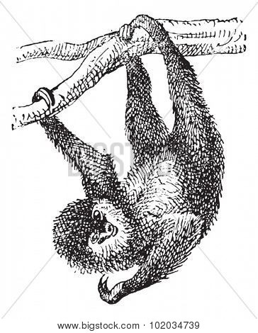 Sloth, vintage engraved illustration. Dictionary of Words and Things - Larive and Fleury - 1895