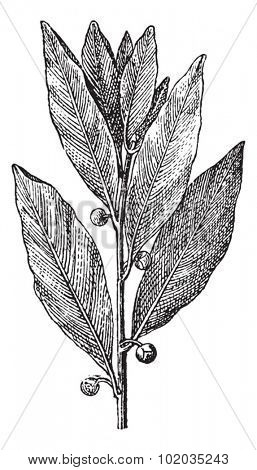 Bay Laurel or Laurus nobilis, vintage engraved illustration. Dictionary of Words and Things - Larive and Fleury - 1895