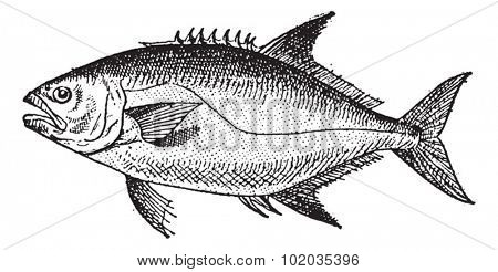 Leerfishor Lichia amia, vintage engraved illustration. Dictionary of Words and Things - Larive and Fleury - 1895
