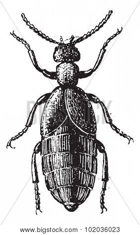 Blister Beetle or Meloe sp., vintage engraved illustration. Dictionary of Words and Things - Larive and Fleury - 1895