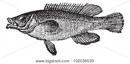 Cuckoo Wrasse or Labrus mixtus, vintage engraved illustration. Dictionary of Words and Things - Larive and Fleury - 1895