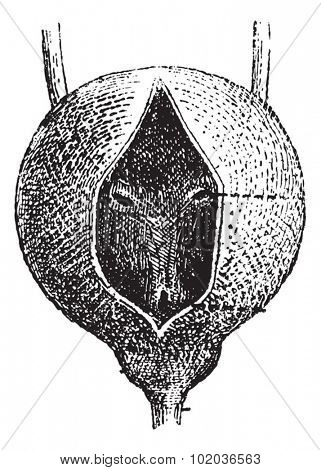 Human Urinary Bladder, showing (a) Ureter, (b) Urethral Opening, (c) External Uretral Orifice, (d) Internal Uretral orifice, and (e) Prostate Gland. Dictionary of Words and Things Larive & Fleury 1895