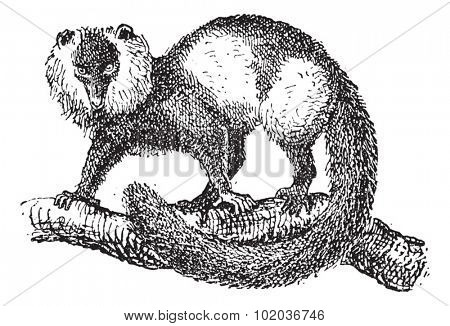 Black-and-white ruffed lemur (Varecia variegata), vintage engraved illustration. Dictionary of words and things - Larive and Fleury - 1895.