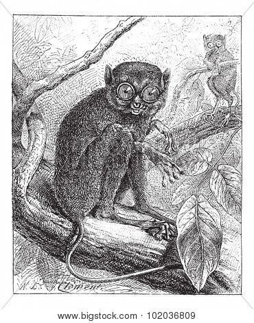 Old engraved illustration of two Tarsiers on the tree branch. Dictionary of words and things - Larive and Fleury