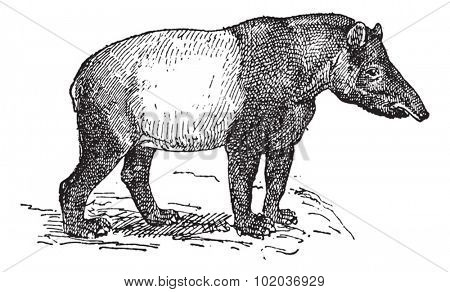 Old engraved illustration of Tapir in the meadow. Dictionary of words and things - Larive and Fleury ? 1895