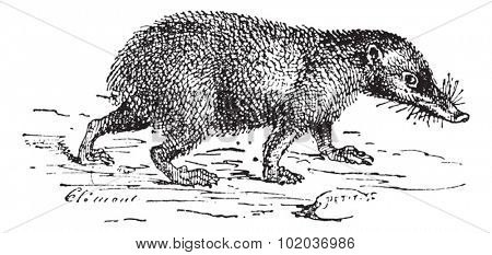 Old engraved illustration of Tailless tenrec or Tenrec ecaudatus or common tenrec, running in the meadow. Dictionary of words and things - Larive and Fleury - 1895