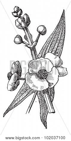 Sagittaria or Sagittaria sp., vintage engraved illustration. Dictionary of Words and Things - Larive and Fleury - 1895