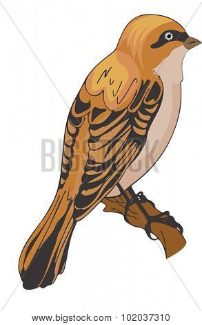 Sparrow or Passeridae, Bird, Orange and Black, Perched on a Branch, vector illustration