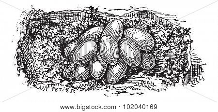 Nest of the Bumblebee or Bombus sp., built underground, showing eggs, vintage engraved illustration. Dictionary of Words and Things - Larive and Fleury - 1895