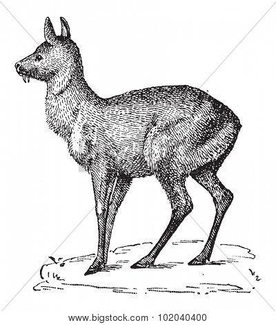 Siberian Musk Deer or Moschus moschiferus, vintage engraved illustration. Dictionary of Words and Things - Larive and Fleury - 1895