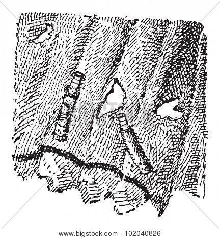 Larvae of Fungus Moth or Tinea sp., vintage engraved illustration. Dictionary of Words and Things - Larive and Fleury - 1895