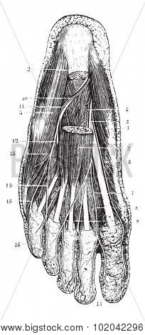 Surface layer of the sole of the foot, after removal of the skin, subcutaneous layer and fascia, vintage engraved illustration. Usual Medicine Dictionary - Paul Labarthe - 1885.