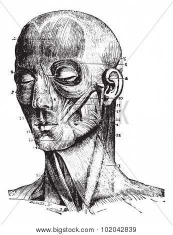 Muscles of the face, vintage engraved illustration. Usual Medicine Dictionary - Paul Labarthe - 1885.