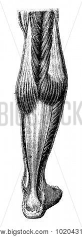 Human Leg, showing posterior region, vintage engraved illustration. Usual Medicine Dictionary by Dr Labarthe - 1885