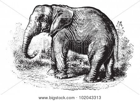 Elephant in forest, vintage engraved illustration. Animaux Sauvages et Domestiques - For kids - 1892.