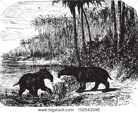Two giant Anteaters in forest, vintage engraved illustration. Animaux Sauvages et Domestiques - For kids - 1892.