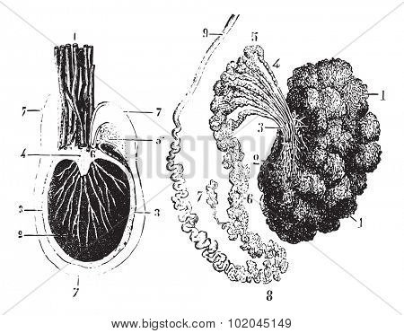 Cross section of the testis, epididymis and tunica vaginalis, vintage engraved illustration. Usual Medicine Dictionary by Dr Labarthe - 1885.