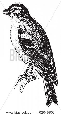 Finch, vintage engraved illustration. Dictionary of words and things - Larive and Fleury - 1895.