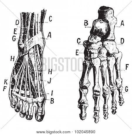 Foot, Fig 1. Muscles, Fig 2. Skeleton, vintage engraved illustration. Dictionary of words and things - Larive and Fleury - 1895.