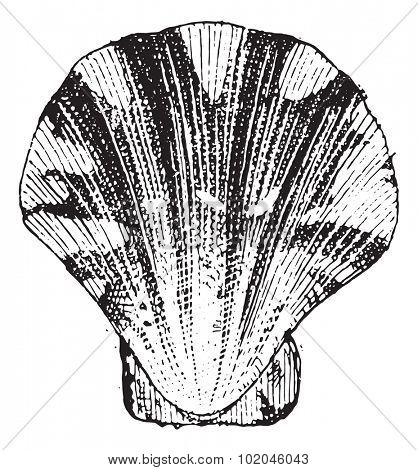 Comb mollusc, vintage engraved illustration. Dictionary of words and things - Larive and Fleury - 1895.