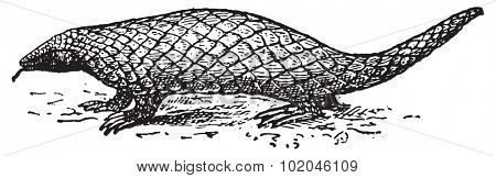 Pangolin or Scaly Anteater or Trenggiling, vintage engraved illustration. Dictionary of words and things - Larive and Fleury - 1895.