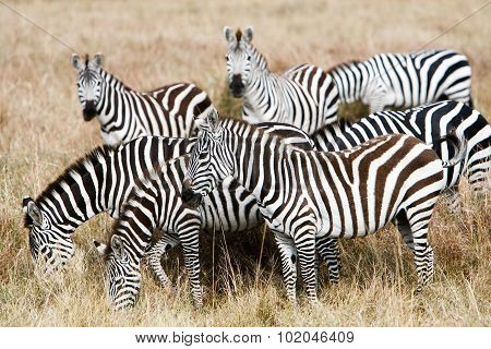Herd Of Plains Zebras Grazing In African Savanna