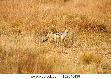 Black-backed Jackal (canis) In African Savanna