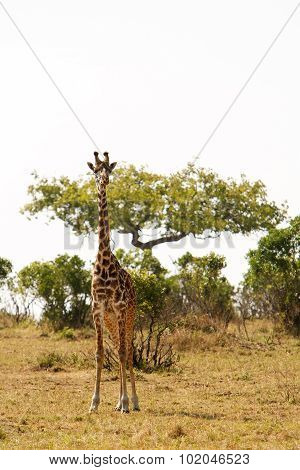 Giraffe In Dry African Savanna On A Lookout For Predators