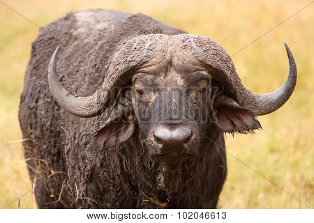 African Cape Buffalo In African Savanna