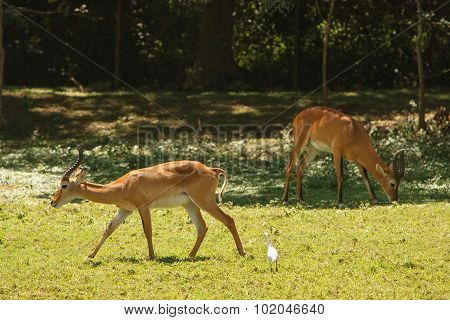 Impalas Grazing On Fresh Grass In African Bush