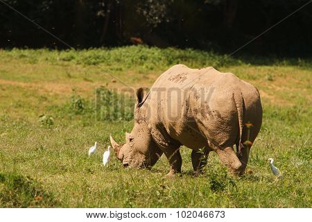 Threatened White Rhinoceros Grazing On Fresh Grass