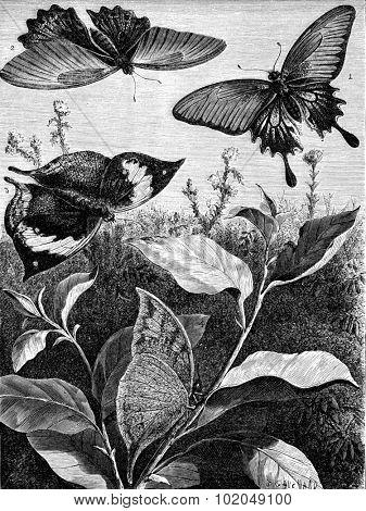 Dissimilarity female butterfly Memnon. Kallima paralekta. The even at rest, vintage engraved illustration. Le Tour du Monde, Travel Journal, (1872).