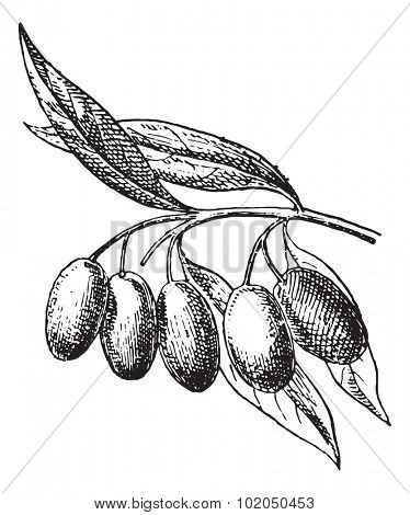 Olive fruit, vintage engraved illustration. Dictionary of words and things - Larive and Fleury - 1895.