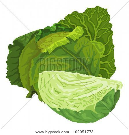 Vector illustration of raw green cabbage.