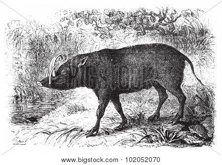The babirusa, vintage engraved illustration. Le Tour du Monde, Travel Journal, (1872).