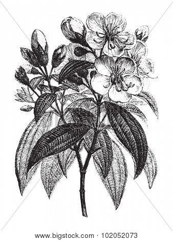 Rhexia superba, vintage engraved illustration. Le Tour du Monde, Travel Journal, (1872).